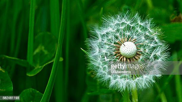 dandelion on green - crmacedonio stock photos and pictures