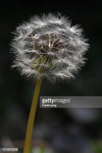 dandelion natural background