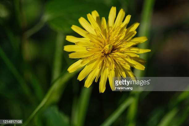 dandelion natural background