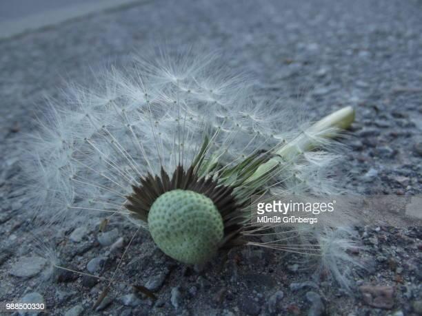 dandelion on street - argyroxiphium sandwicense - fotografias e filmes do acervo