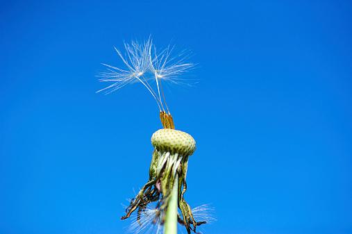 dandelion on the blue sky background 517750285