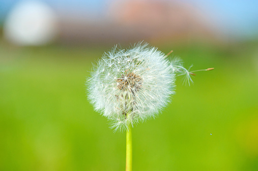 dandelion on the green background 517750259
