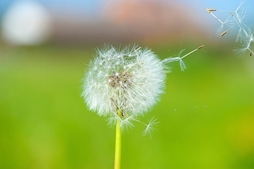 dandelion on the green background 517750275