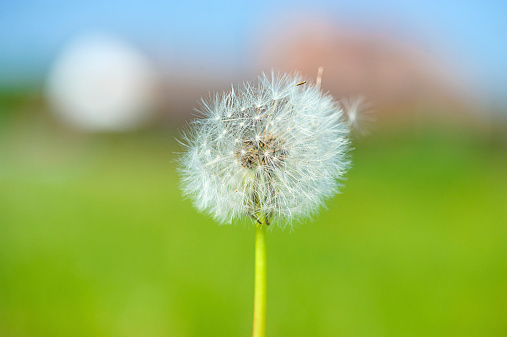 dandelion on the green background 517750277