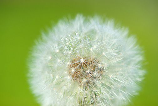dandelion on the green background 517750311