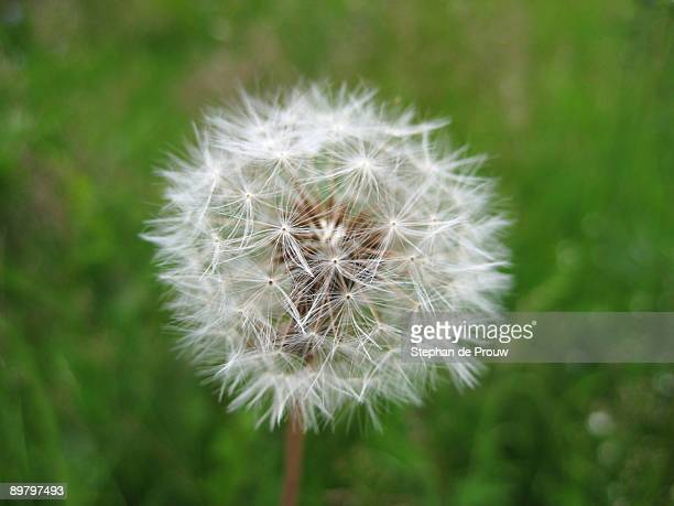 dandelion parachute ball - stephan de prouw stock pictures, royalty-free photos & images