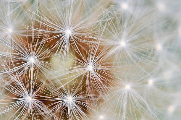 Dandelion Patterns