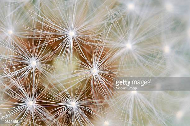 dandelion patterns - emery stock photos and pictures
