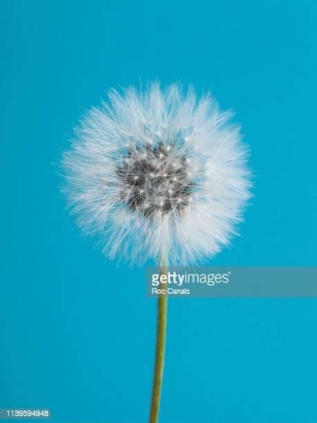 dandelion - fragilidad fotografías e imágenes de stock