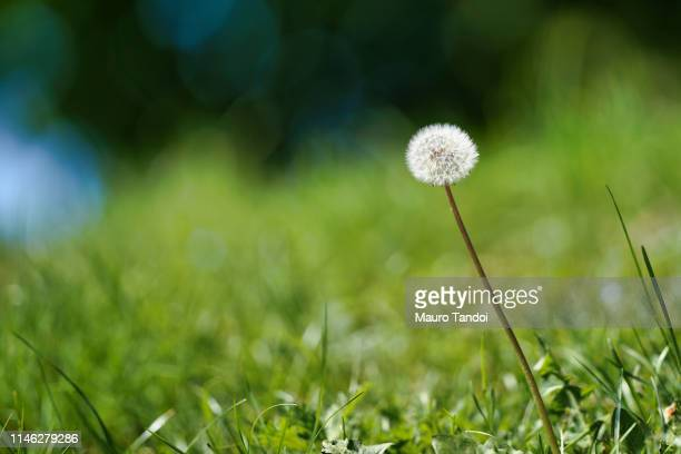 dandelion - mauro tandoi stock pictures, royalty-free photos & images