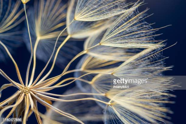 dandelion - nature stock pictures, royalty-free photos & images