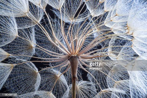 dandelion - close up - fotografias e filmes do acervo