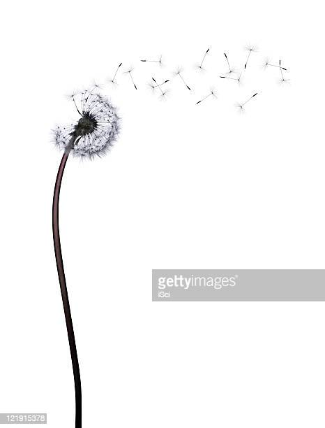 dandelion - luck stock pictures, royalty-free photos & images