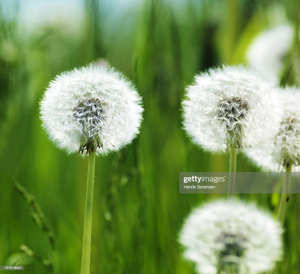 ?????????Dandelion : Stock Photo