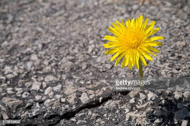 dandelion - tarmac stock pictures, royalty-free photos & images