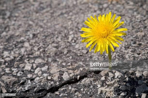 dandelion - asfalt stockfoto's en -beelden