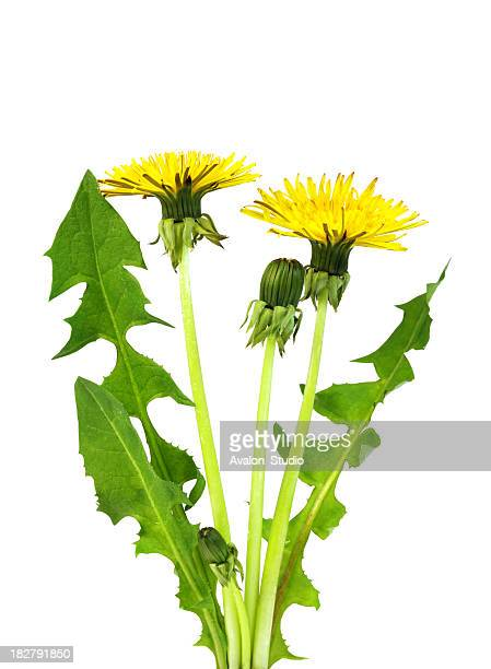 dandelion - dandelion leaf stock pictures, royalty-free photos & images