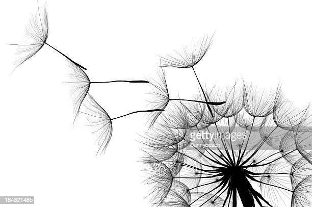 dandelion - black and white nature stock pictures, royalty-free photos & images