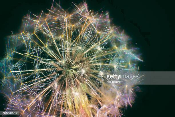 dandelion - rob castro stock pictures, royalty-free photos & images