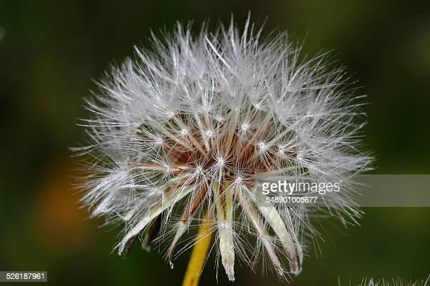 dandelion - feuille de pissenlit photos et images de collection