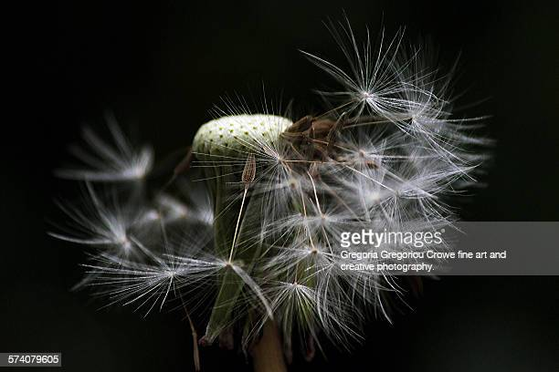 dandelion - gregoria gregoriou crowe fine art and creative photography. stock pictures, royalty-free photos & images