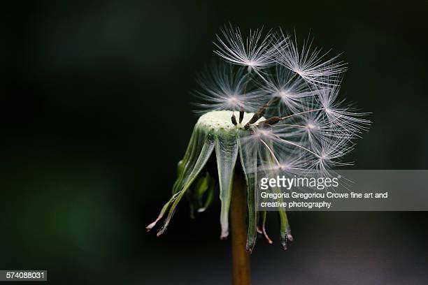 dandelion - gregoria gregoriou crowe fine art and creative photography stock photos and pictures