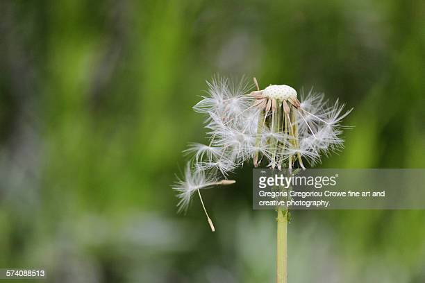 dandelion - gregoria gregoriou crowe fine art and creative photography stock pictures, royalty-free photos & images