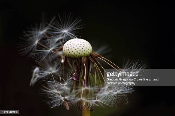 dandelion - gregoria gregoriou crowe fine art and creative photography. photos et images de collection