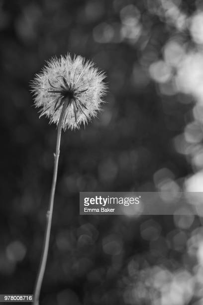 dandelion - emma baker stock pictures, royalty-free photos & images