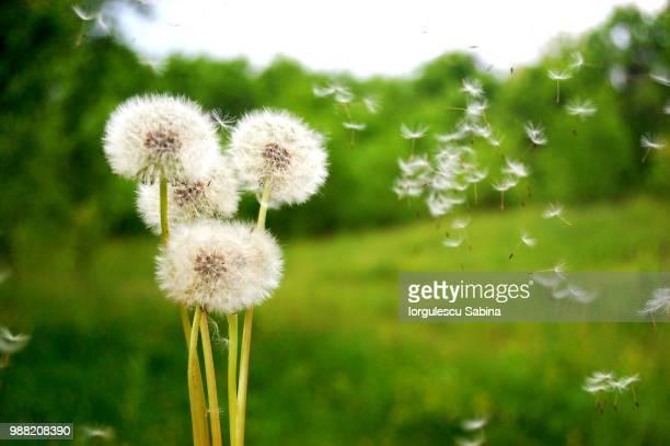 dandelion - dandelion stock pictures, royalty-free photos & images