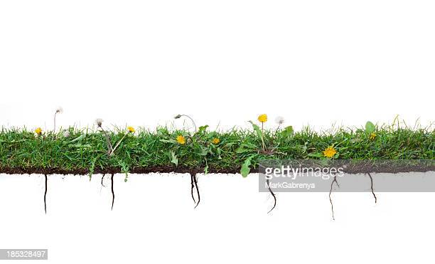 dandelion plants growing in grass with roots - weed stock photos and pictures
