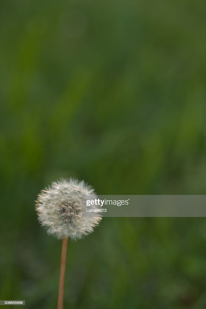 Dandelion Puff : Stock Photo