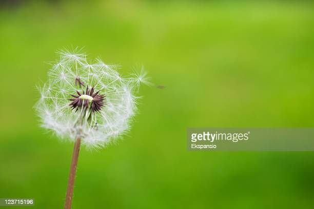 Dandelion Puffball and Green Background with One Seed Hanging On