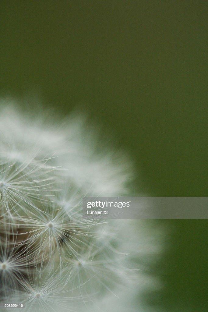 Dandelion Puffs : Stock Photo