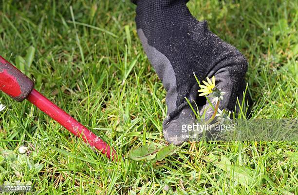 dandelion removal - uncultivated stock pictures, royalty-free photos & images