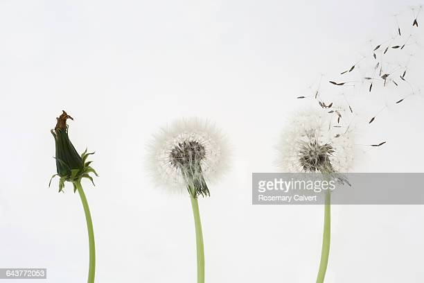 Dandelion seed dispersal, one, two, three go