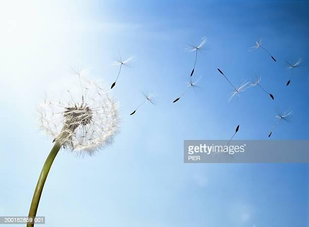 dandelion (taraxacum officinale) seed head blowing in wind - rilasciare foto e immagini stock