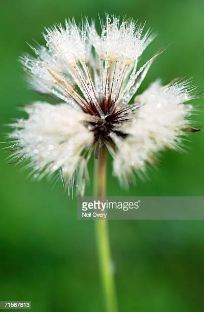 dandelion (taraxacum officinale) seed head covered in dew - feuille de pissenlit photos et images de collection