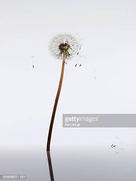 dandelion seed head - feuille de pissenlit photos et images de collection