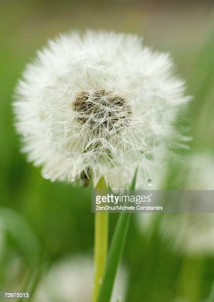 dandelion seed head - feuille de pissenlit photos et images de collection