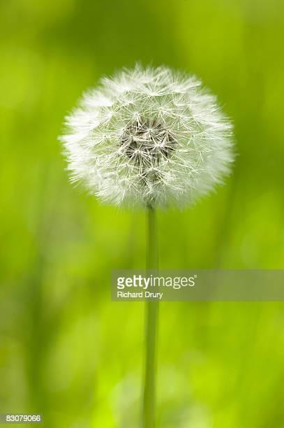 dandelion seed head (taraxacum officinale) - feuille de pissenlit photos et images de collection