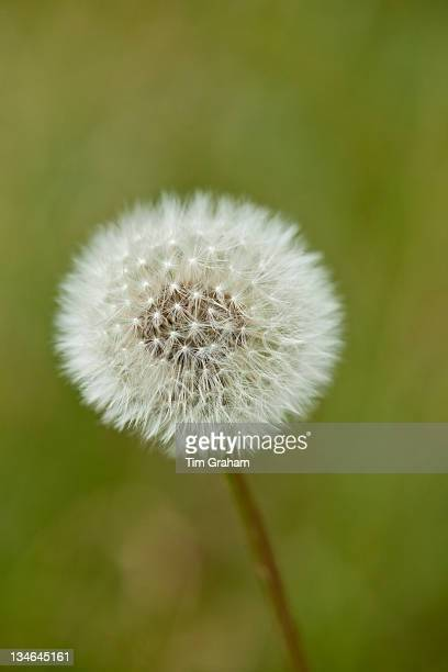 Dandelion seed head with filamentous achenes ready for dispersal UK