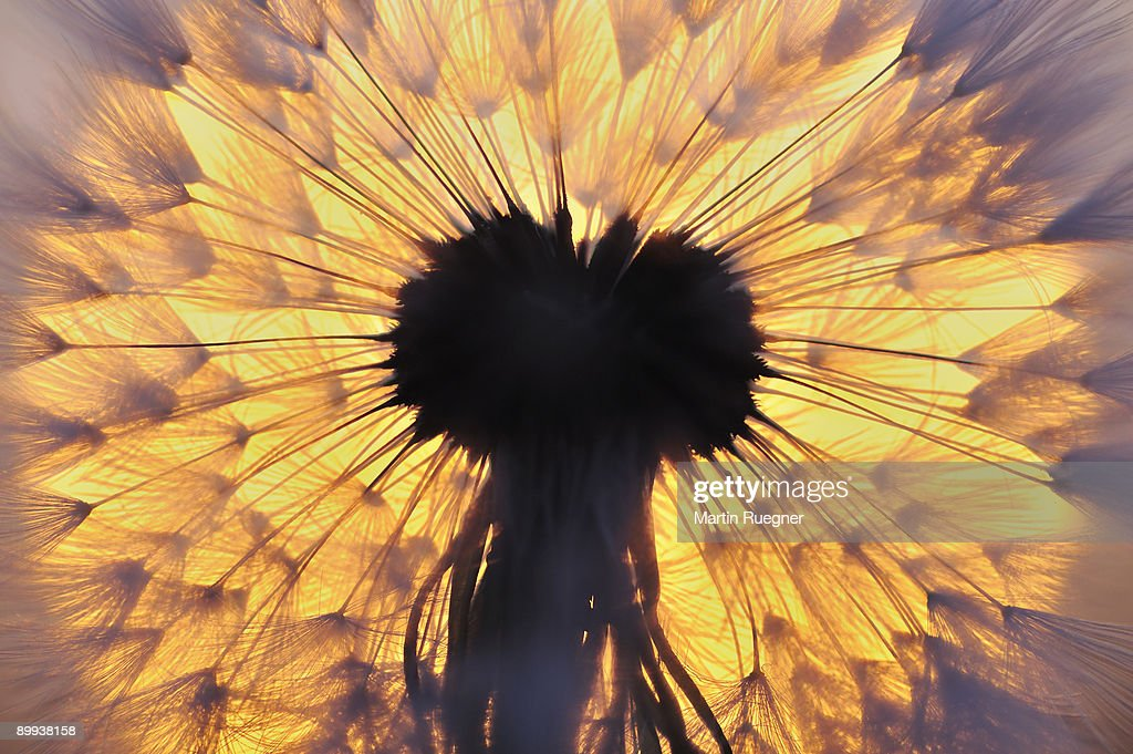 Dandelion seed head with sunrise sun in background : Stock Photo