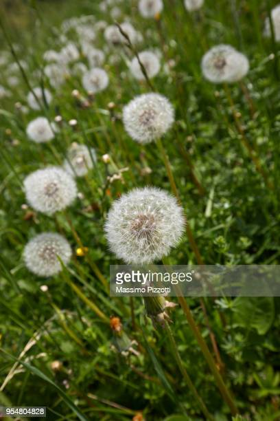 A dandelion seed heads blooming in a field in springtime, Italy