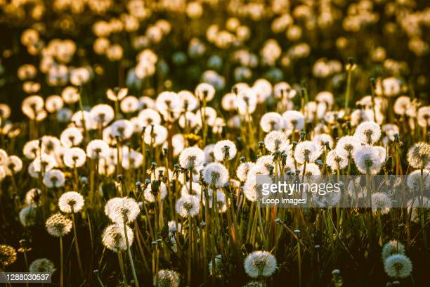 Dandelion seed heads glow with the lights as the sun sets in the evening.