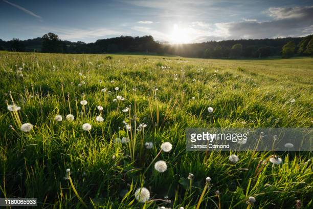 dandelion seed heads in a meadow at sunset. - meadow stock pictures, royalty-free photos & images