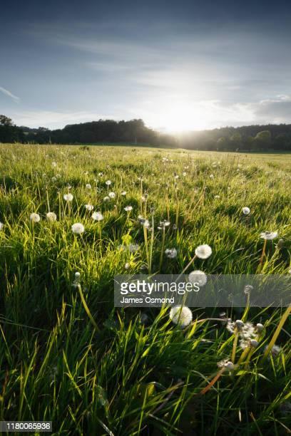common dandelion taraxacum officinale somerset uk