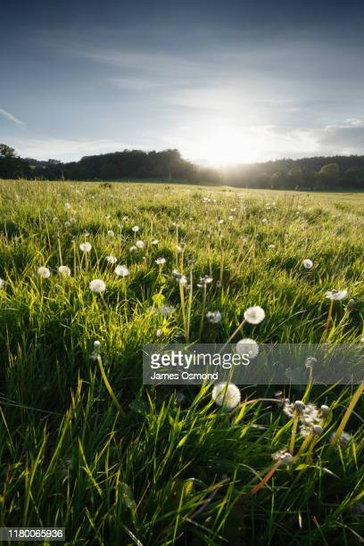 dandelion seed heads in a meadow at sunset. - sun stock pictures, royalty-free photos & images