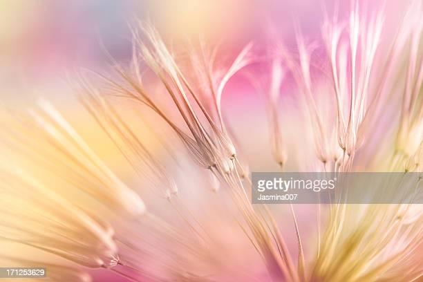 dandelion seed - weichheit stock-fotos und bilder