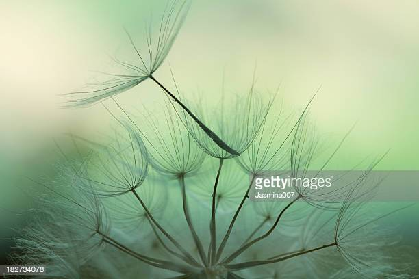 dandelion seed - tranquil scene stock pictures, royalty-free photos & images